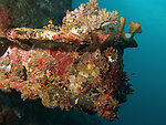 Kenting, Taiwan -- Steel T-beam overgrown with coral. There is a small triplefin goby right in the center of the photo.