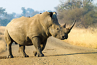 White Rhinoceros (Ceratotherium simum) with a Red-billed Oxpecker (Buphagus erythrorhynchus), in the middle of a road, Kruger National Park, South Africa, Africa