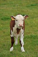 Herewford calf..Copyright..John Eveson, Dinkling Green Farm, Whitewell, Clitheroe, Lancashire. BB7 3BN.01995 61280. 07973 482705.j.r.eveson@btinternet.com.www.johneveson.com