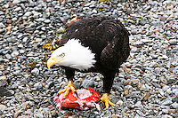 "Bald eagle in Sitka, Alaska shows other eagles that this piece of fish is ""mine"""