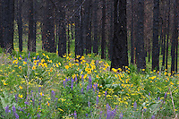 When periodic fires are prevented, the fuel load increases, resulting in hotter fires that kill entire stands, but even this apparent devastation creates ideal habitat for some owls and woodpeckers. The Black-backed and Three-toed Woodpeckers arrive in these forests while the trees are still smoking, to feast upon wood-boring beetle larvae. Later, Hawk Owls will use tall, isolated perches to hunt from, and might nest in hollowed-out, blackened trees.