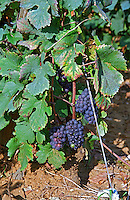 Ripe Pinot Noir grapes in the La Grande Rue Grand Cru vineyard in Vosne Romanee, Bourgogne