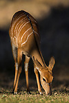 Nyala (Tragelaphus angasii) female grazing, Greater Makalali Private Game Reserve, South Africa