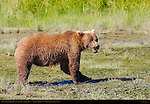 Alaskan Coastal Brown Bear Eating Salmon, Warning Snarl, Silver Salmon Creek, Lake Clark National Park, Alaska
