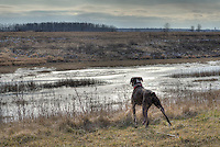 There's never (this is one of the rare still moments) a dull moment for Porky, a two-year-old boxer. The big male is scanning the landscape at The W. Darcy McKeough Floodway.