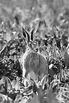 Brown Hare, Lepus europaeus, Elmley Marsh, Kent UK, black and white,