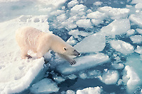 polar bear, Ursus maritimus, trying to pick her way across a lead on chunks of melting ice, a sign of global warming, Svalbard (formerly known as Spitsbergen), Norway, Arctic Ocean