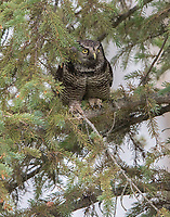 A Northern Hawk Owl hides in a daytime roost in the dense limb of a spruce.