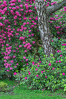 ORPTC_D179 - USA, Oregon, Portland, Crystal Springs Rhododendron Garden, Purple blossoms of rhododendrons in bloom and birch tree.
