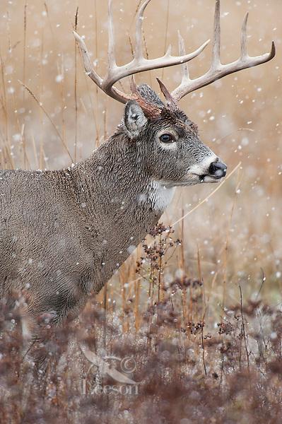 White-tailed Deer Buck (Odocoileus virginianus). Snowing. November.