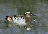 Garganey (male) Anas querquedula L 37-41cm. Teal-sized summer visitor to the region. Favours emergent wetland vegetation, hence unobtrusive. In flight, male shows pale blue-grey forewing and white-bordered greenish speculum; female's speculum is brown. Sexes are dissimilar. Adult male has reddish brown head and broad white stripe above and behind eye. Breast is brown but otherwise plumage is greyish, except for mottled buffish brown stern. In eclipse, resembles adult female but retains wing patterns. Adult female has mottled brown plumage; similar to female Teal but bill is uniform grey bill and has pale spot at base of bill. Juvenile resembles adult female. Voice Male utters diagnostic rattle. Status Scarce breeding bird but fairly widespread on migration.