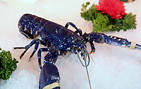COPY BY TOM BEDFORD<br /> A rare blue lobster called Chelsea, believed to be one in 2,000,000 that was caught off the coast of Scotland, at Coakley Greene fishmongers in the indoor market, Swansea, Wales, UK.