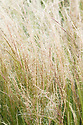 Stipa tenuissima, early July. Sometimes known as Mexican feather grass or Texas needle grass.