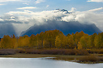 Aspen trees in fall below Mount Moran, at Oxbow Bend, Snake River, Grand Teton National Park, Wyoming