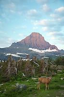 Reynolds Mounain and Mule Deer buck in velvet at Logan Pass in Glacier National Park at sunrise.