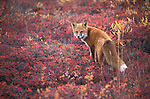 Close-up of Red Fox (Vulpes vulpes) in Denali National Park, AK