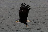 Bald eagle carries his prey after diving into the waters in Southeast Alaska.