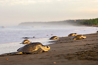 olive ridley sea turtle, Lepidochelys olivacea, females arriving to nest in the arribada or mass nesting event, Ostional, Costa Rica, Pacific Ocean