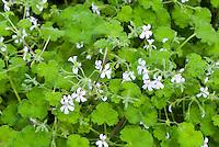 Pelargonium odoratissimum (Sc) in flower, Apple scented geranium