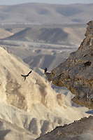 Sooty Falcon - Falco concolor