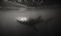 One of my main goals of the trip was to swim with whale sharks for the first time.  Though visibility wasn't great for photos, it was a fun experience.  Please note: I had to do a lot of work in post-processing to clean these images up, so they should not be considered a fully accurate representation of the scene.