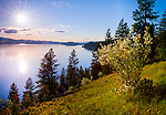 Idaho, North, Kootenai County, Coeur d'Alene. Syringa blooms on the hillside above Lake Coeur d'Alene in spring.