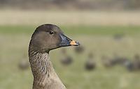 Bean Goose - Anser fabalis -Tundra Bean Goose - Anser fabalis rossicus
