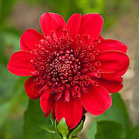 Dahlia, Washington