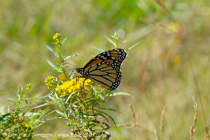 Monrach Butterfly on Golden Rod -Salidago- in a New England forest during the summer months. The Golden Rod  is part of the Aster family