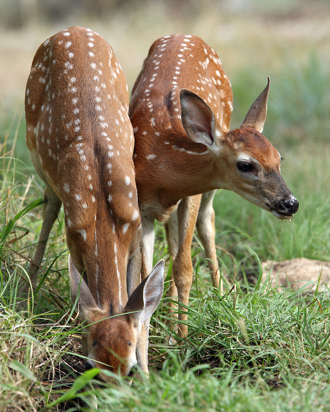A doe nurses her fawns frequently during the early days. After three weeks in the world, fawns begin to eat vegetation. After about 10 weeks, a doe rejects any attempt for fawns to nurse.