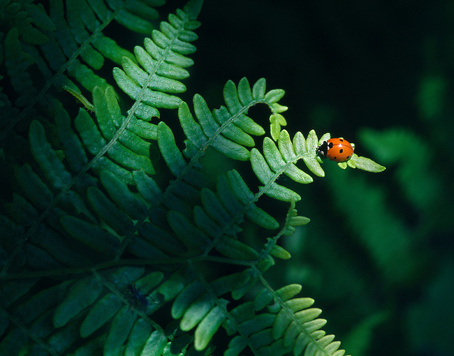 fern, ladybug, Rocky Mountain National Park, Colorado