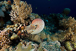 Nautilus feeding in the coral reef