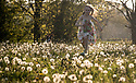 11/05/17<br /> <br /> Freya Kirkpatrick, 9, and her springer spaniel, Chester, run through a field full of dandelion clocks as the sun sets on one of the hottest days of May near Wirksworth in the Derbyshire Dales.<br /> <br /> All Rights Reserved F Stop Press Ltd. (0)1773 550665 www.fstoppress.com