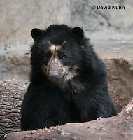 0906-0811  Spectacled Bear, Andean Bear, Tremarctos ornatus  © David Kuhn/Dwight Kuhn Photography.