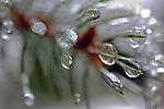 Ice Pine Needles