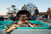 Carp are discarded and placed in bins to be turned into fertilizer after the U.S. Open Bowfishing Championship, Sunday, May 4, 2014. <br /> <br /> Photo by Matt Nager