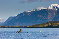 Brown bear sow fishes in Naknek lake, Mount Katolinat in the background, Katmai National Park, Alaska.