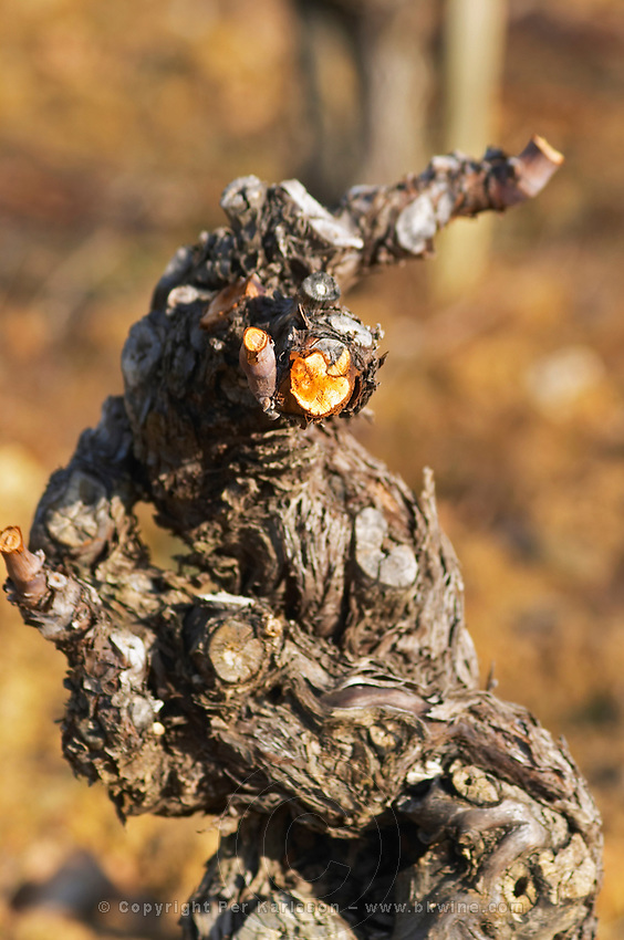 Domaine Mas Gabinele. Faugeres. Languedoc. Vines trained in Gobelet pruning. Old, gnarled and twisting vine. In the vineyard. France. Europe.
