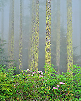 Wild rhododendrons and moss draped hemlock trees in Table Rock Wilderness Oregon