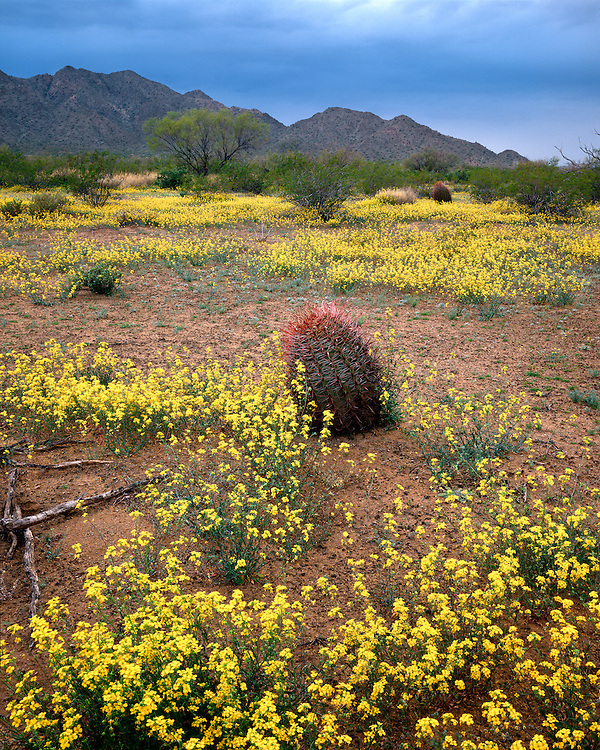 Bladderpod (Lesquerella gordonii) and Barrel Cactus in the Agua Dulce Mountains; Cabeza Prieta National Wildlife Refuge, AZ