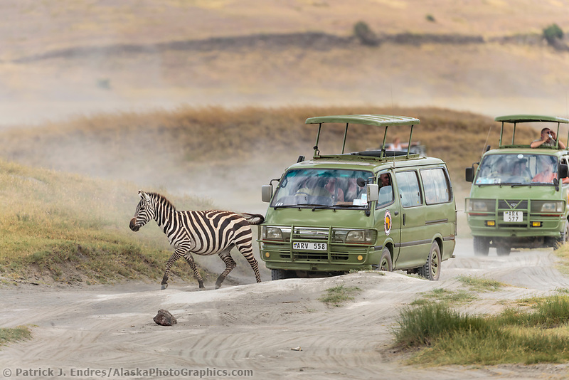 Zebra crosses the road in the Ngorongoro Crater, Tanzania, Africa