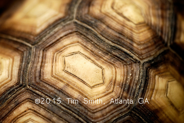 August 2007, Daytona Beach, Florida..Closeup view of a giant tortoise shell.  Texture, animal, macro.