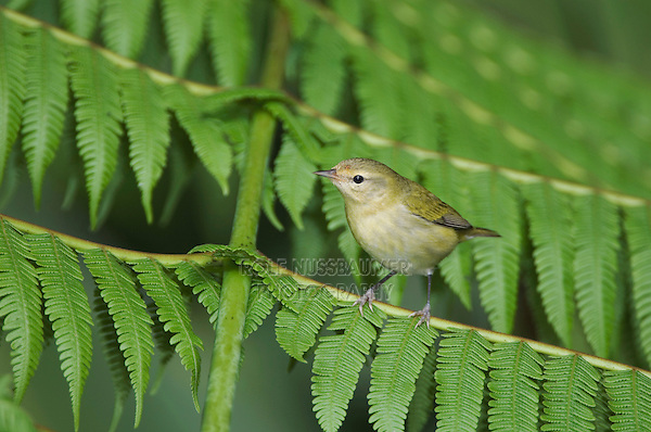 Tennessee Warbler, Vermivora peregrina, adult perched on Tree fern, Central Valley, Costa Rica, Central America