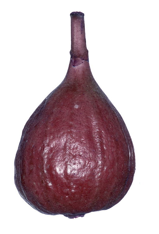 Fig Ficus carica (Moraceae) HEIGHT to 5m<br /> Deciduous tree with distinctive fruits and leaves. BARK Pale grey, smooth, sometimes with finer lines. BRANCHES Thick, forming a spreading domed crown. LEAVES Alternate, to 20cm long, on a 5–10cm petiole; deeply lobed, usually in 3 segments, sometimes 5. Feel rough and leathery with prominent veins on underside. REPRODUCTIVE PARTS Flowers are hidden, produced inside pear-like fleshy receptacle that is almost closed at apex. This ripens in second year into a familiar fleshy, sweet-tasting fig. STATUS AND DISTRIBUTION Native to SW Asia, possibly also S and E Europe. Long cultivated in Britain, thriving in walled gardens