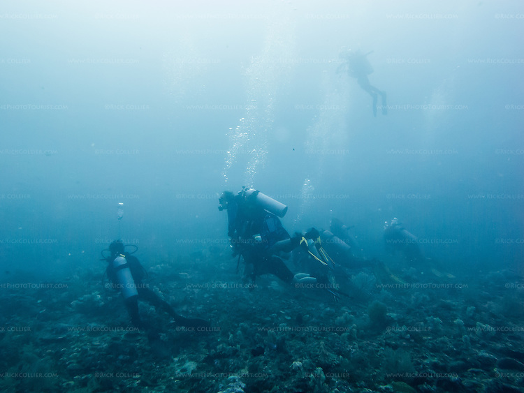 A cluster of divers rises from the reef bottom, ending their wait for the thresher sharks at Monad Shoal.  (At Monad Shoal, near Malapascua Island, Central Visayas, the Philippines.)