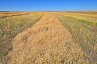 Canola swaths<br /> Indian Head<br /> Saskatchewan<br /> Canada