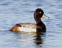 Adult male lesser scaup in breeding plumage