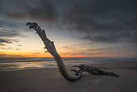 Dawn on beach with driftwood near Karamea, Kahurangi National Park, Buller Region, West Coast, New Zealand, NZ