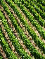 Deutschland, Rheinland-Pfalz, Suedliche Weinstrasse, Siebeldingen bei Landau in der Pfalz: Weinberg - Detail | Germany, Rhineland-Palatinate, Southern Wine Route, Siebeldingen near Landau in der Pfalz: vineyard - detail