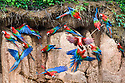 Gathering of Red-and-Green Macaws (Ara chloropterus) feeding at the wall of a clay lick. Heath River, Tambopata / Bahuaja-Sonene Reserves, Amazonia, Peru / Bolivia border.